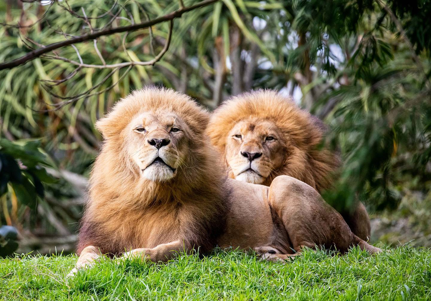 Visitors to Auckland Zoo may need to be fully vaccinated to see the lions and other animals. Photo / Auckland Zoo
