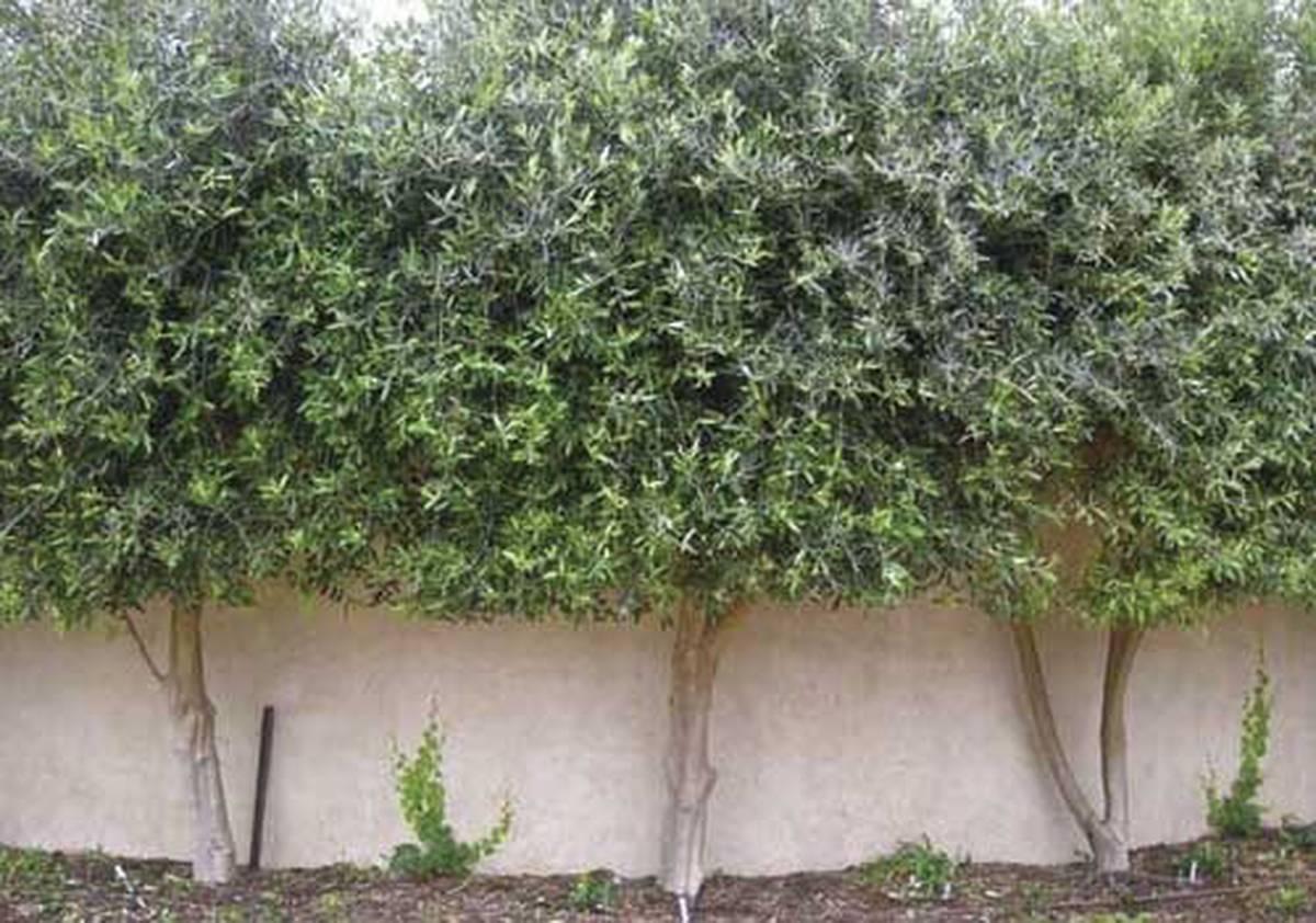 Olive Trees For Fruit Oil Or Hedging