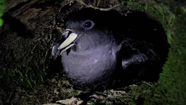 The Westland petrel is one of the last few petrel species that remains on the mainland of New Zealand. Photo / T. Poupart