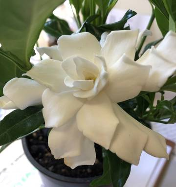 Plant Of The Week Gardenia Four Seasons Nz Herald