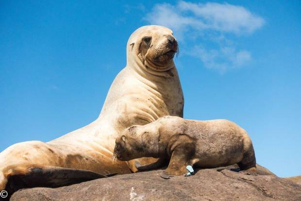 Sea lions face a range of natural and human threats, such as disease, being caught in fishing trawl nets, environmental change, food availability and predation by sharks. Photo / Gareth Hopkins, DOC