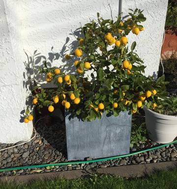 Growing citrus in our climate - NZ Herald