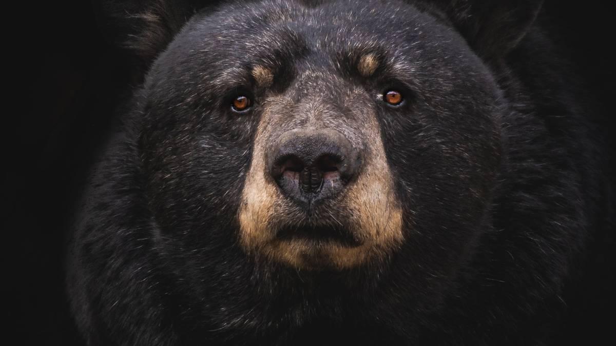 Bear with a gun: Firearm theft baffles Minnesota Forestry Service – NZ Herald