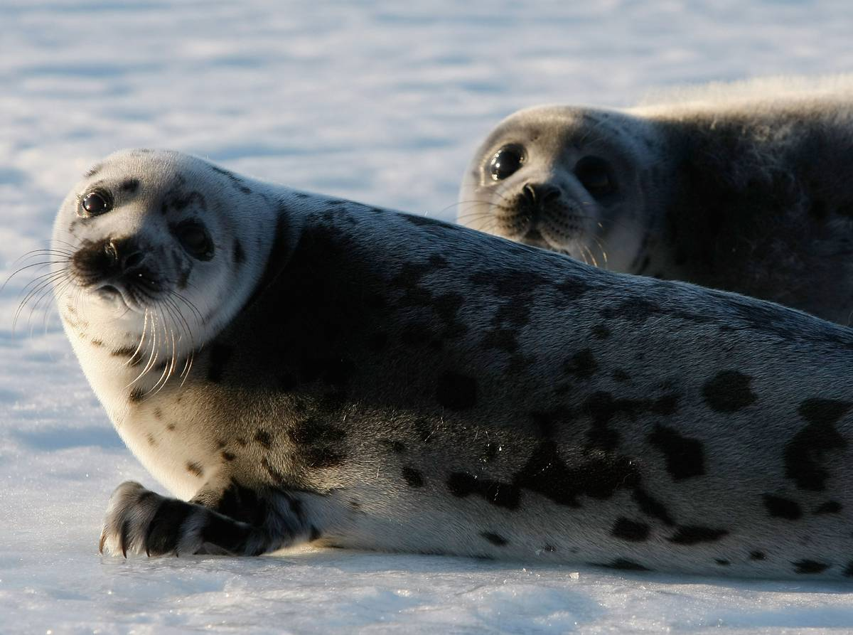 seals-on-roads-seals-in-driveways-seals-at-front-doors-a-canadian-town-faces-a-marine-invasion