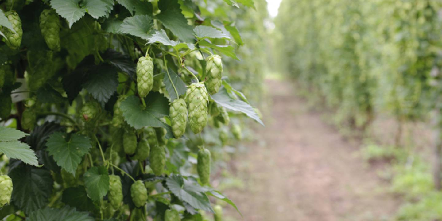 Hop garden at Plant & Food Research's Motueka site. Photo / Supplied.