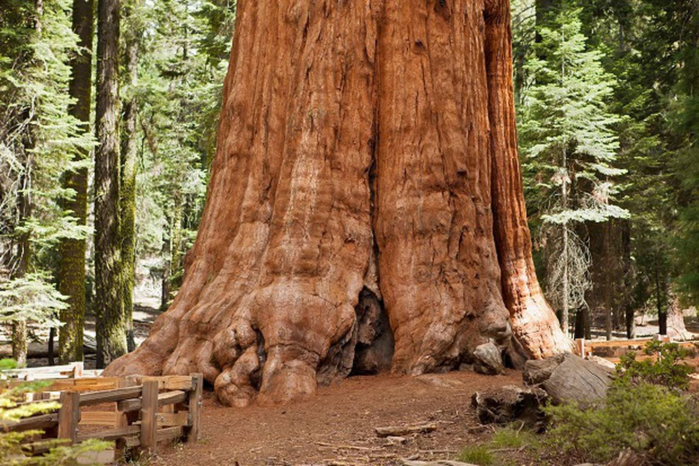 Giant Sequoia tree close-up, at Sequoia National Park. Photo / Getty Images