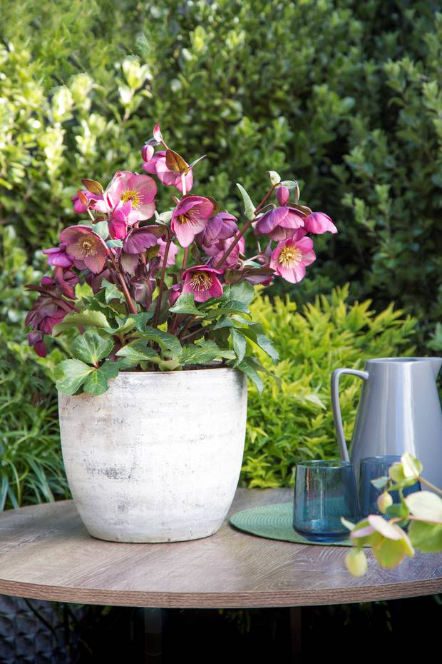 Hellebore Charmer Photo / Supplied