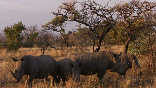 Rhinos in the wild. In some countries their horn is considered 'a major gift'.