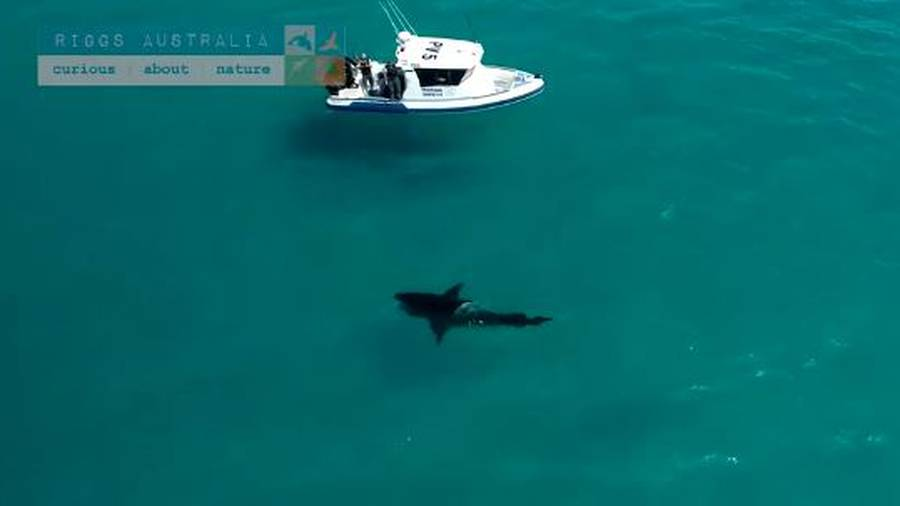 Drone Footage Captures Absolutely Massive Great White Off WA Beach