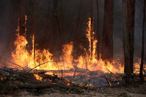 Flames from a controlled fire burn up tree trunks as firefighters work at building a containment line at a wildfire near Bodalla, Australia. Photo / AP