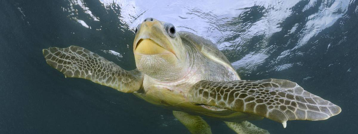 essay about sea turtles