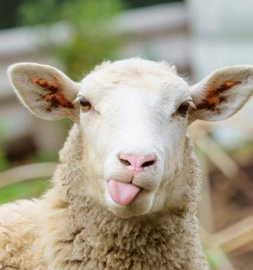 Google 'confirms' All New Zealanders are sheep shaggers - NZ