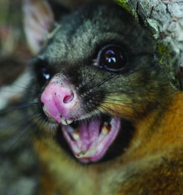 Lack of disease raises questions over possum killing, poison