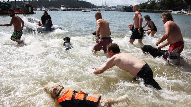 Contestants hit the water in the dog-and-owner swimming race at last year's Opua Community Regatta. PHOTO / PETER DE GRAAF