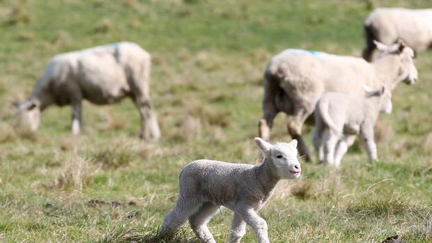 The Commercial And Export Appeal Of Sheep Milk Products Is Being Driven By Evidence Of The