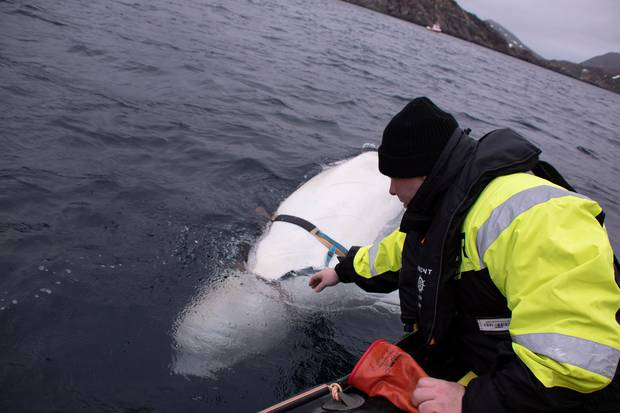 Norwegian Directorate of Fisheries official Joergen Ree Wiig says one option could be to send the friendly beluga to a sanctuary in Iceland. Photo / AP