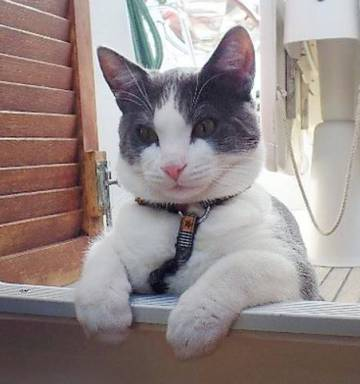 Navy The Nautical French Cat Pictured Before Being Locked Up By Ministry For Primary
