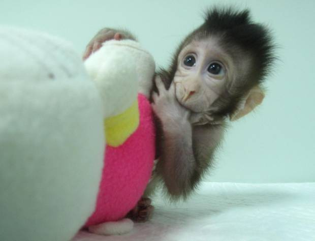 Zhong Zhong is one of two genetically identical cynomolgus monkeys born 10 days apart. Photo / Qiang Sun and Muming Poo, Chinese Academy of Sciences
