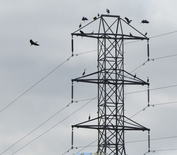 Away with the birds, taking over power pylons. Photo / Supplied