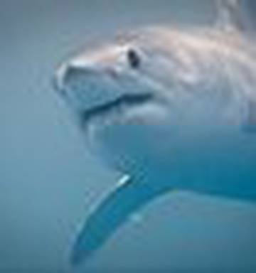 Mako sharks get blame for 'sonar fish' attacks - NZ Herald