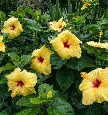 Hibiscus Enjoy The Heat Nz Herald