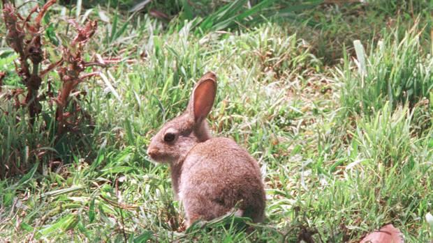 Los agricultores federados dicen que los resultados del virus K5 en el número de conejos en Otago son decepcionantes.  Foto / Archivo