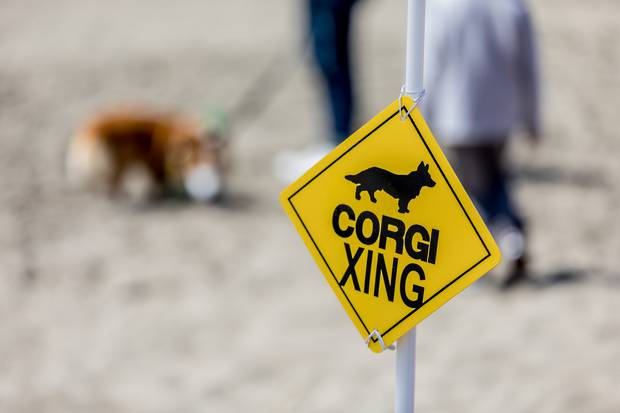 1000 Corgis can't be wrong: CorgiCon dogs and pet lovers