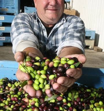 Olive oil will follow the wine industry' - NZ Herald