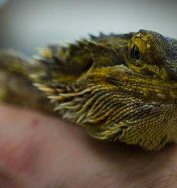 Talk To The Animals Lizards The New Must Have Pet Nz Herald
