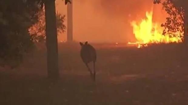 A kangaroo tries to escape the fires. Photo / News.com.au