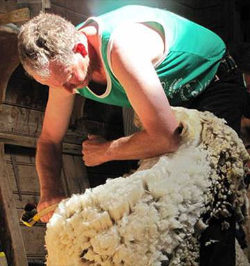 Celebrating 150 Years Of Shearing Competition In Nz Nz Herald