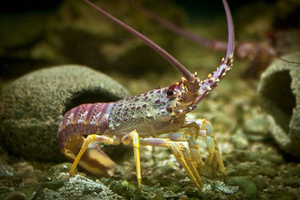 Hauraki Gulf recreational crayfish take slashed in half - scientists say not enough