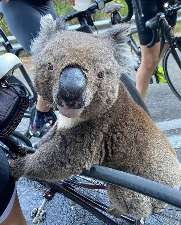 Thirsty Koala begs cyclist for water