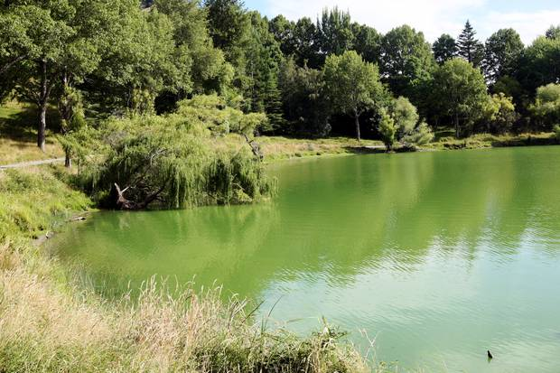 An algal bloom in summer 2016 also came with a fish die-off. Photo / File