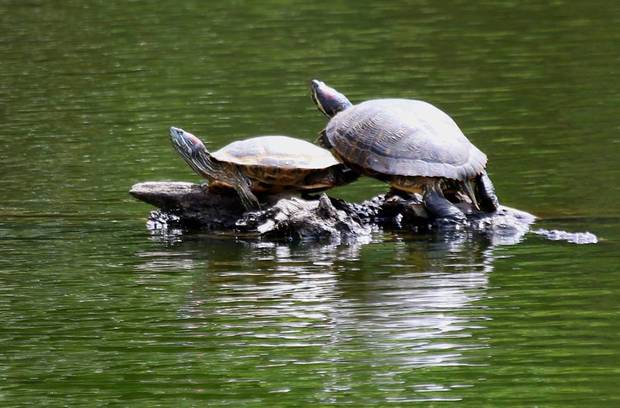 Red-ear slider turtles at Western Springs. Photo / Cathy Casey