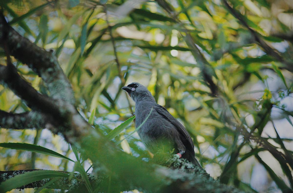 Love in the air: Kōkako breeding programme success on Mt Pirongia