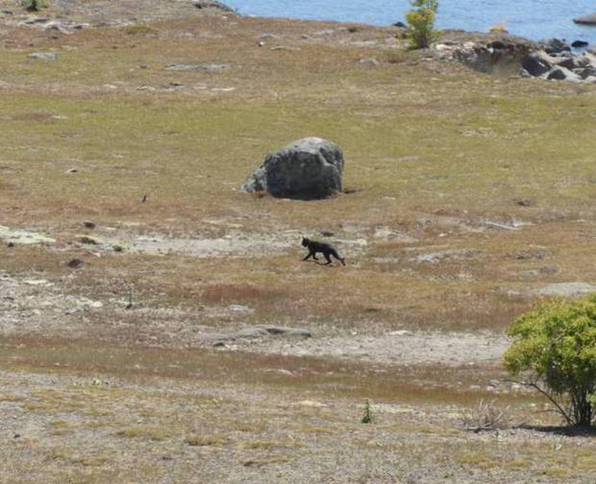 Big cat mystery: Fresh sighting of 'Canterbury panther'