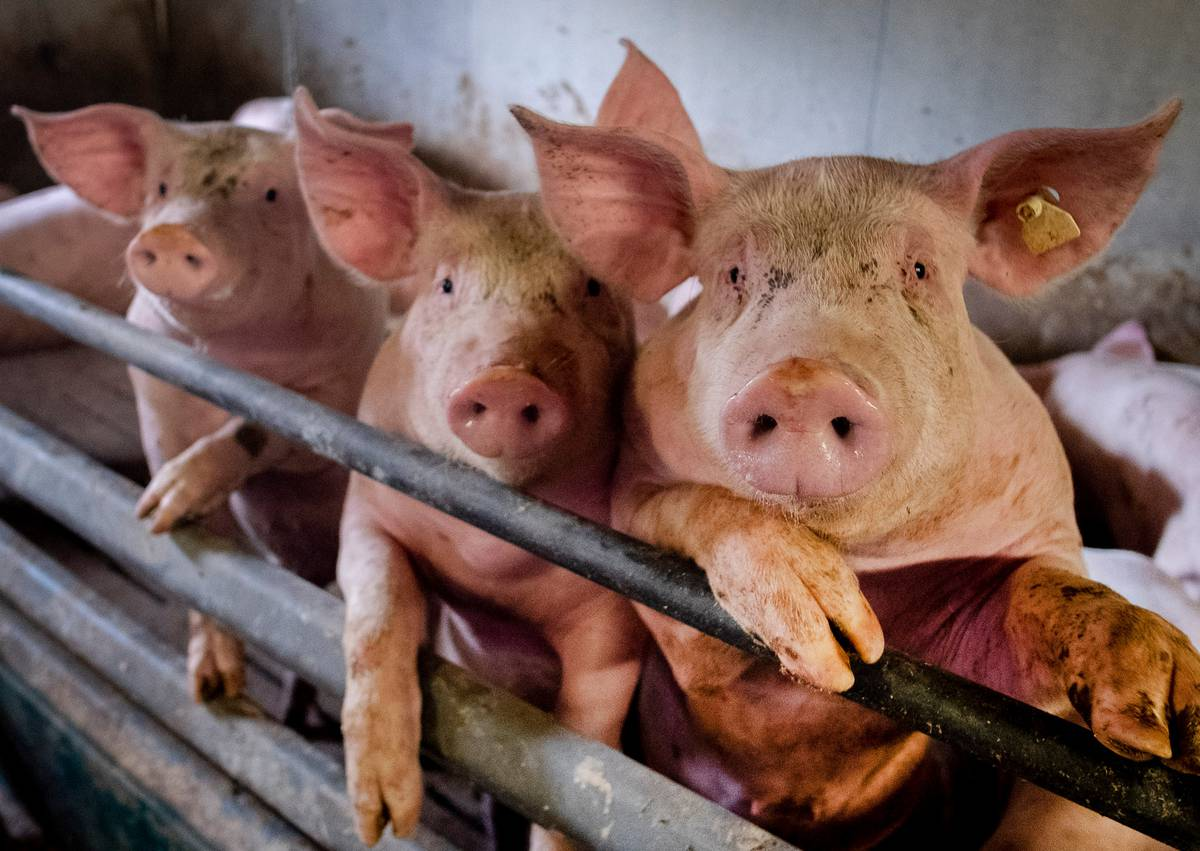 The Conversation: Is swine flu going to be the next pandemic?