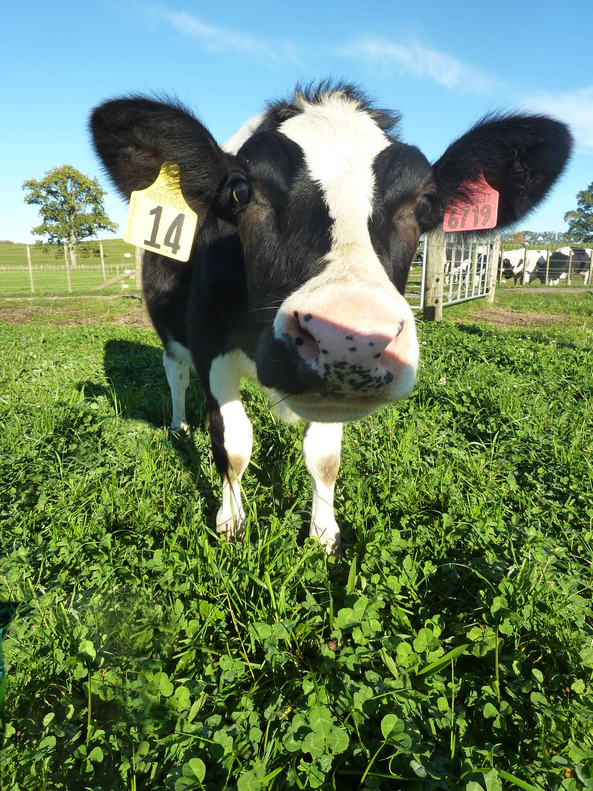 Genetically modified cows milk