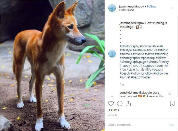 'How stunning is this dingo?' Photo / Instagram