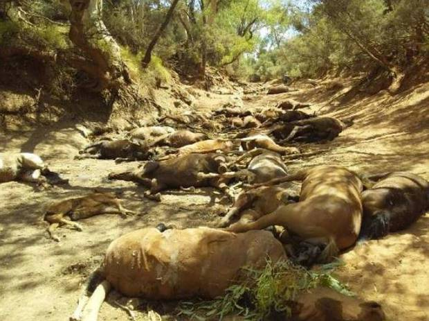 Dozens of brumbies were found by a dry waterhole at Deep Hole. Photo / Ralph Turner