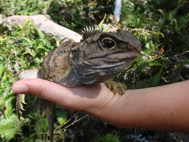 Tuatara number only between 60,000 and 100,000 today, having once been widespread across New Zealand. Photo / Department of Conservation