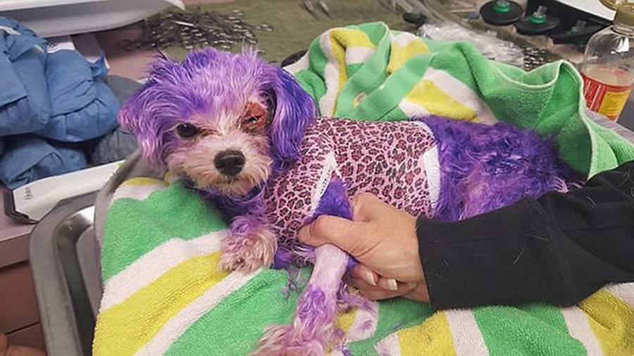 Dog badly burned after owner dyed her purple