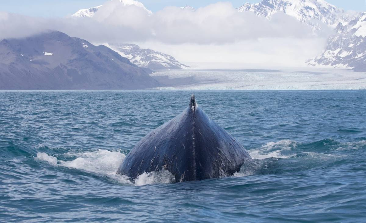 Whale-come news: Why these ocean giants are on the rebound