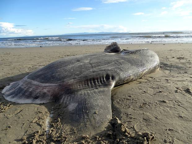 The hoodwinker sunfish is thought to live in the Southern Hemisphere, but this 2.15m washed up on a California beach. Photo / AP