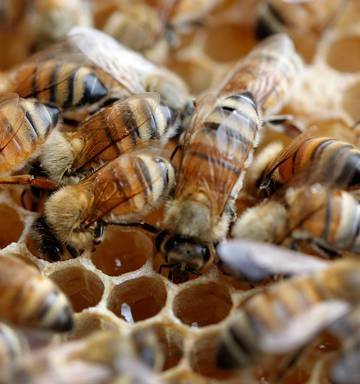 Hawke's Bay bees 'struggling to find food' after Kerikeri
