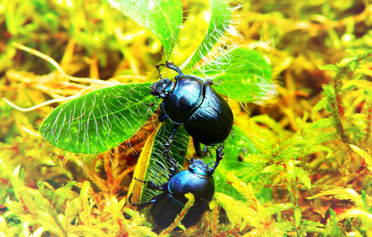'Game changer': Thousands of dung beetles set to be released in Mahia Peninsula