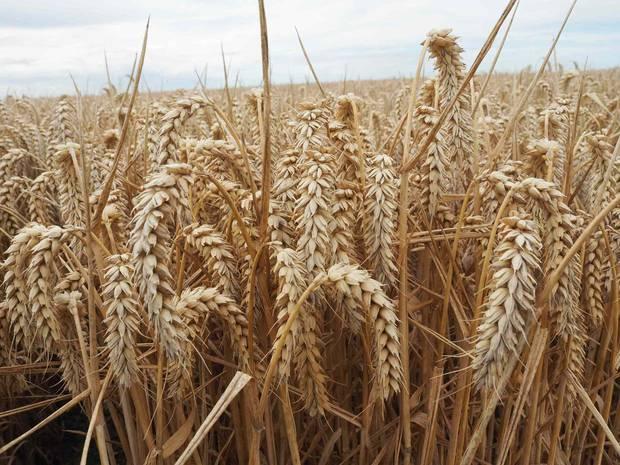 Kerrin wheat. Photo / Supplied