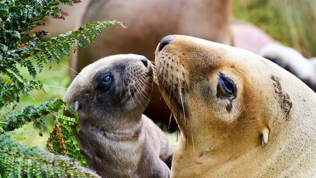 Conservation Minister Eugenie Sage wants the decline of New Zealand's iconic sea lion reversed, with pup numbers having fallen by 40 per cent in just 20 years. Photo / Gareth... 				</div> 						<a href=