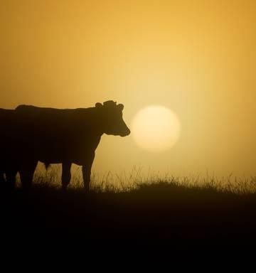Cow killed in crash on State Highway 2 near Katikati - NZ Herald